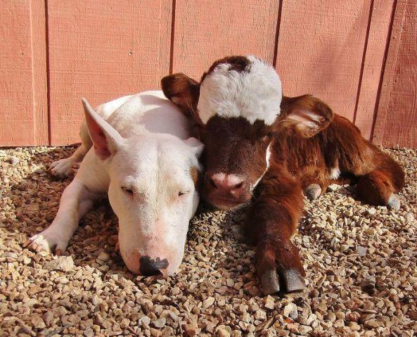 cama-cachorro-pet-gato-moonpie-mini-vaca-8