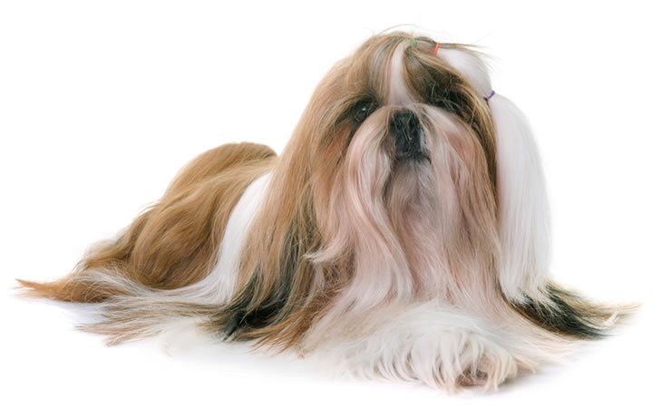Como é ter um cachorro Shitzu?