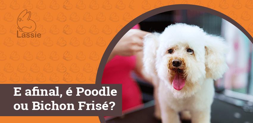 E afinal, é Poodle ou Bichon Frisé?
