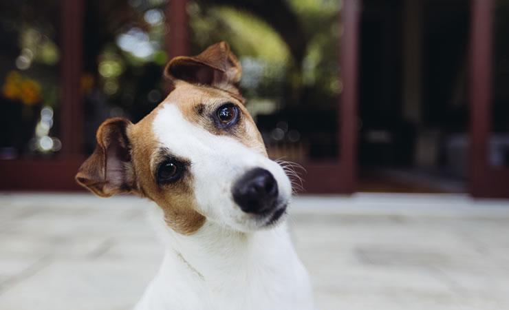 Porque o cão inclina a cabeça?